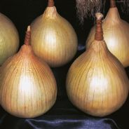 Onion Ailsa Craig - 10 Grams - Bulk Discounts available